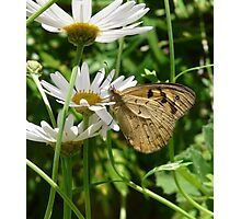 Butterfly drinking from Daisy Photographic Print