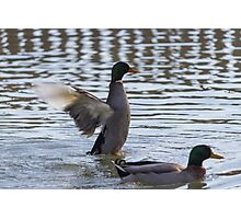 ducks are swimming in the lake Photographic Print