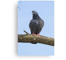 pigeon on tree Canvas Print