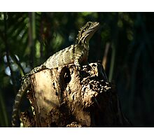 Frill Neck Lizard Photographic Print