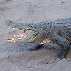 Grumpy American Alligator  by Kyme