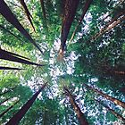 Californian Redwoods by Travis Easton
