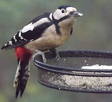 Great Spotted Woodpecker Eating Peanut Cake by Jacqueline Turton