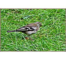 Mrs Chaffinch looking for seeds. Photographic Print