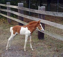 Baby Pinto by kimbarose