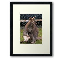 Wallaby with Albino Joey in pouch Framed Print