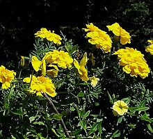 Golden Sunshine by Linda Marlowe