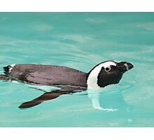 Young Penguin In Pool Photographic Print