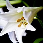 White Lily by andyw