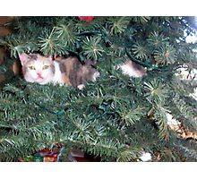 Cali...in the tree... Photographic Print