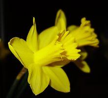 Daffodils by pluspixels