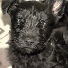 Scottish Terrier Puppy by Franco De Luca Calce