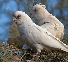 Corellas  by FrankM