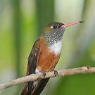 Hummingbird in Green by mc27