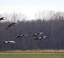 Cranes in Flight by rdshaw