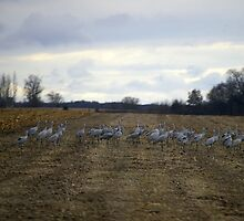 Field of Cranes by rdshaw