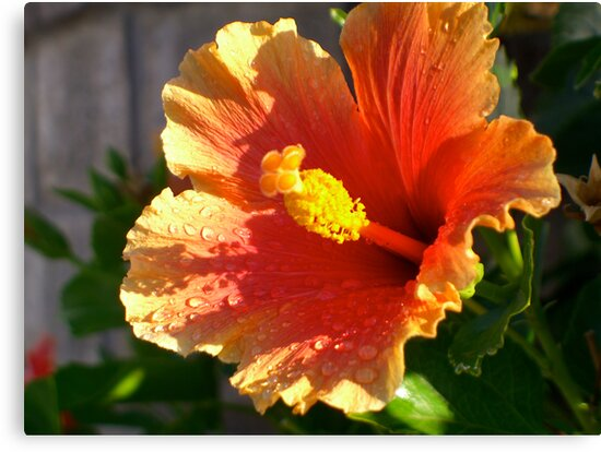 Sunlit Hibiscus by Cheryl  Lunde