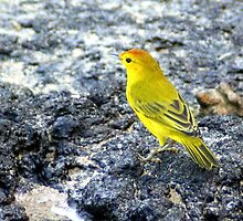 Yellow Warbler by Laurel Talabere
