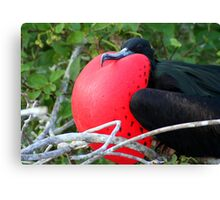 Male Great Frigate Bird: All Puffed Up! Canvas Print