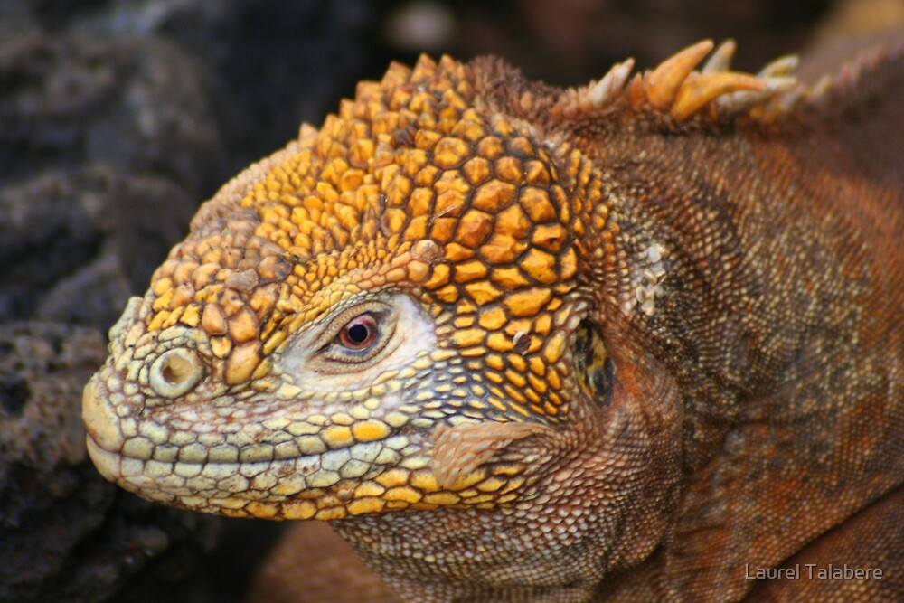 Land Iguana on Santa Cruz by Laurel Talabere