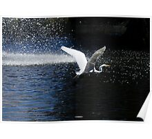 White Heron Flying over water 2 Poster