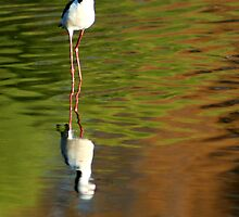 Black Winged Stilt by Sekans