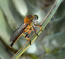 Dioctria rufipes, or Robber Fly ..... Critter bug by Magee