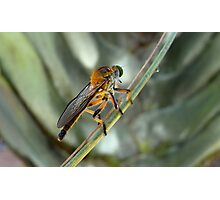 Dioctria rufipes, or Robber Fly ..... Critter bug Photographic Print