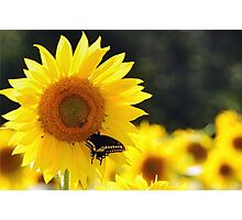 Sunflowers, Bees and Butterflies Photographic Print