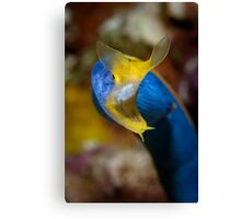 Ribbon Eel Canvas Print