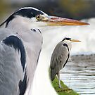 Blue heron- composite portrait by MooseMan
