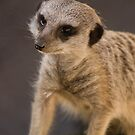 mr meerkat by mickeyb
