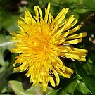 A Ray of sunshine - Lion's Teeth by Rivendell7