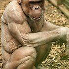 Jambo the bald Chocolate Chimpanzee by amjaywed