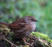 Dunnock (male)  -- Prunella Modularis                       by Robert Flynn