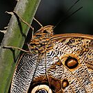 Bananenfalter close-up by mc27