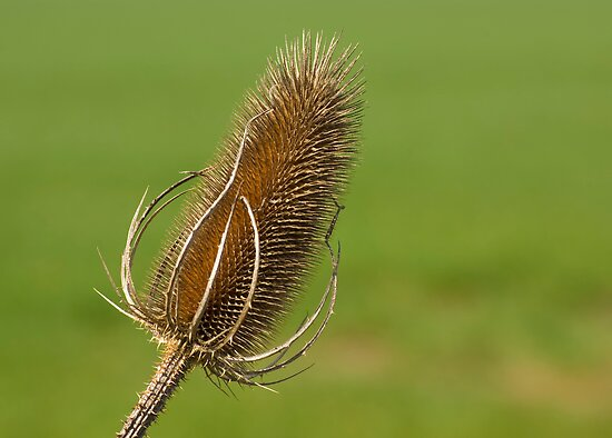 Dried Thistle. by Andrew Ferguson