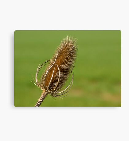 Dried Thistle. Canvas Print