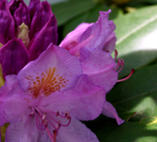 Rhododendron Flowers In The Spring  Sticker