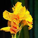 Mellow Yellow by JRScalzo
