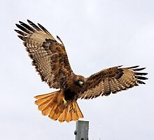 Full Wingspan by Marvin Collins