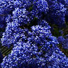 Ceanothus 'Blue Pacific' by Jan Richardson