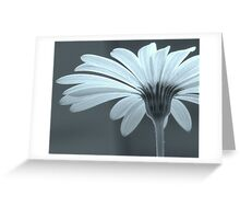 Daisy in early morning light Greeting Card
