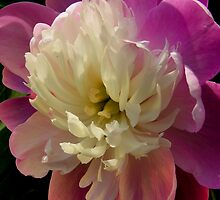 details of a peony by 1busymom