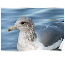 California Gull - Blue Waters Poster