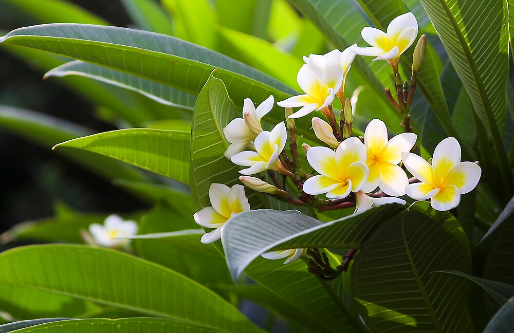 Golden White Native  Frangipani in Taiwan by Jeff Harris
