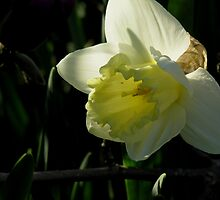 lonely daffodil by 1busymom