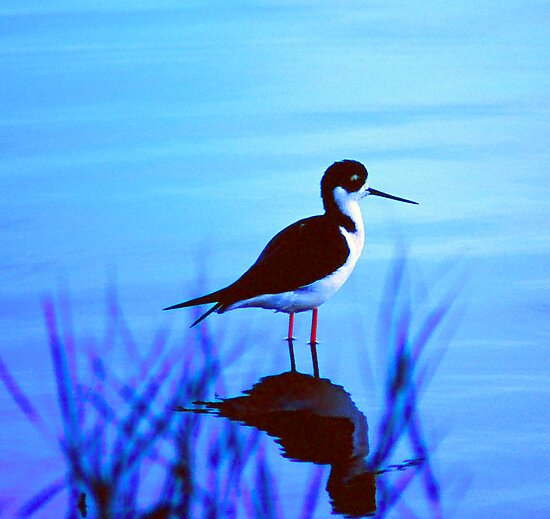 Solve. What Kind of Bird? solved by a bird expert.. Black Neck stilt by Nancy Stafford