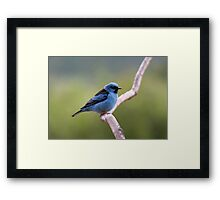 Blue Dacnis Framed Print