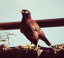 Mynah bird in Po'ipu, Kauai by Amber Gregory